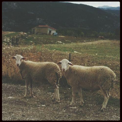 Sheeps Taking Photos