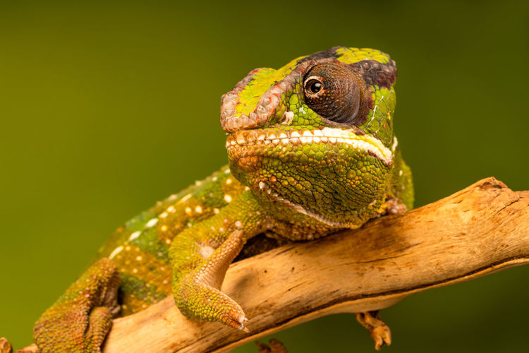 Panther chameleon (Furcifer pardalis) is a species of chameleon found in the eastern and northern parts of Madagascar. Closeup with selective focus. Chameleon Reptile Animal Nature Nobody No People Wildlife Exotic Pets Selective Focus Macro Close Up Panther Chameleon Furcifer Pardalis Madagascar  Native Camouflage Skin Pattern Colors Fauna Reptilian Zoology