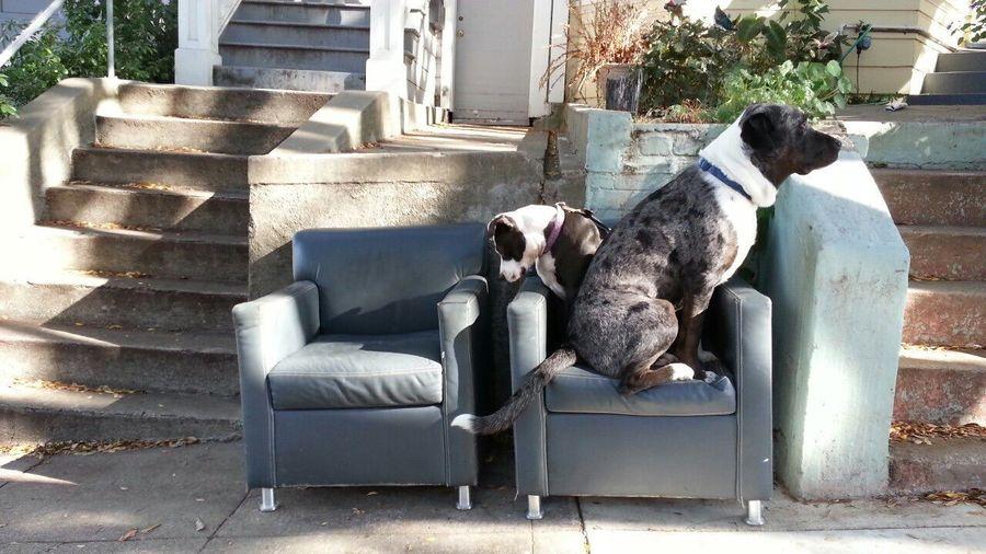 Pets Corner Spoon The Dog Toast The Dog Catahoula Leopard Dog Chairs Staffy Pitbull