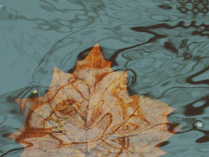 High angle view of autumn leaf floating on water