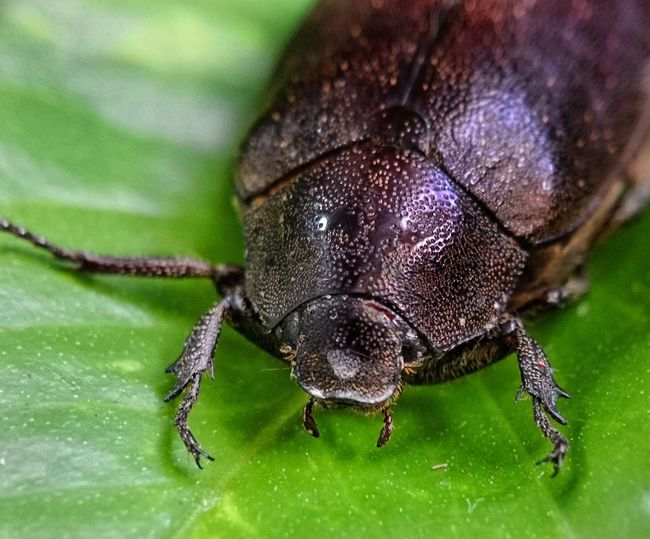Close up for the spesis of beetles Malaysia Macro Macro Photography EyeEmNewHere EyeEm Best Shots Huawei Light And Shadow Huaweimate10pro Huaweiphotography Bee Beetles EyeEm Nature Lover Nature Mac Leaf Insect Close-up Beetle Bug Animal Antenna Tiny Arachnid Housefly Animal Leg Spider Web Spider Snail Mollusk Butterfly - Insect Slug Grasshopper Praying Mantis Animals Mating Mating Web Ladybug Jumping Spider Arthropod
