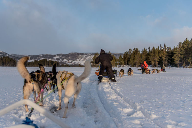 Dogsledding over a frozen lake in the snow covered landscape of Norway. Dogsledding Dog Dogs Dogsled Norway Winter Wintersport Sunset Snow Snow Covered Frozen Nature Animals Innovation Creative Progress Pulling Background Arctic Lapland Scandinavian Tradition Special Sun Ice
