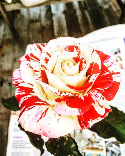 X Flower Flower Head Nature Freshness Beauty In Nature Red Rose - Flower Petal Fragility Close-up Blooming Outdoors No People Growth Plant Day Water First Eyeem Photo