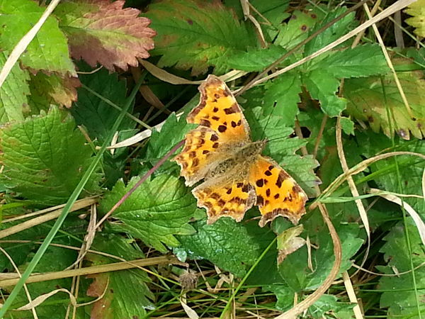 Comma butterfly Insects  Butterfly Nature Comma