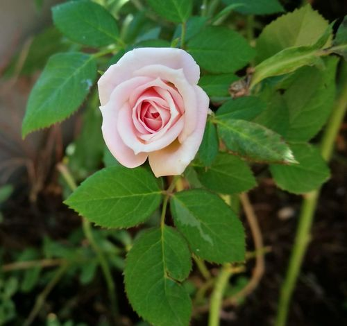 #rosa #roses Leaf Flower Rose - Flower Plant Nature Petal Growth Flower Head Close-up No People Outdoors Pink Color Fragility Beauty In Nature Day Freshness