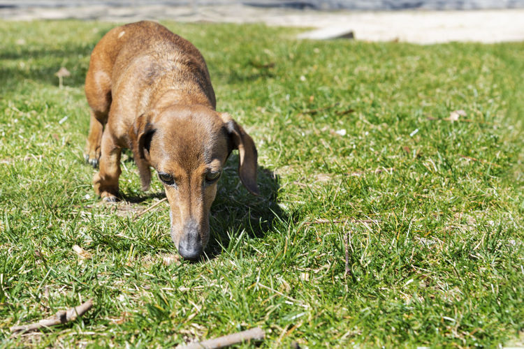 Beautiful brown dachshund at the park in a sunny day. One Animal Mammal Domestic Animals Pets Domestic Vertebrate No People Outdoors Background Wallpaper Copy Space Outside Sunny Day Green Dauchshund Canine Pet Park Nature Portrait Pedigree Breed Furniture Face Dog Animal
