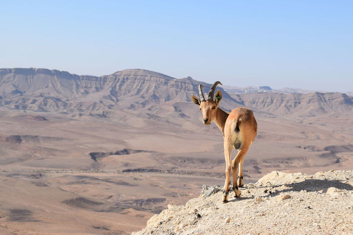 Animal Arid Climate Beauty In Nature Blue Day Desert Domestic Animals Gazelle Horizon Over Land Landscape Mammal Mountain Mountain Range Mountains Mountains And Sky Nature No People Non-urban Scene Outdoors Remote Scenics Sky Tranquil Scene Tranquility Wildlife & Nature