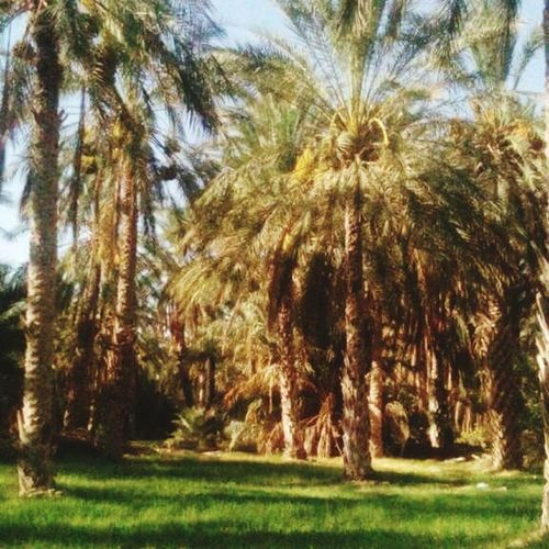 Tree Growth Nature Beauty In Nature Day Outdoors No People Green Color Tranquility Field Tree Trunk Palm Tree Grass Scenics Sky Kebilli Tunisia❤ Tunisia❤ Kebelli Palm Tree Tunisie Terre D'accueil Kebili Beauty In Nature