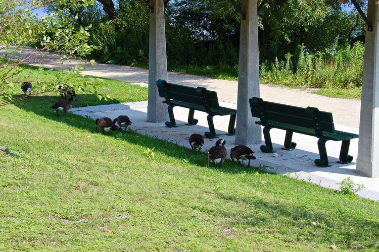 Ducks behind