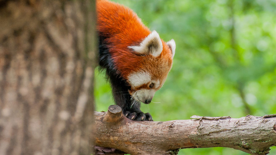 Side View Of Red Panda On Branch
