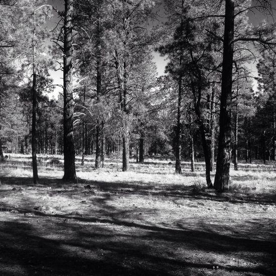 Ponderosa pine forest in northern Arizona Williams, Arizona Kaibab National Forest Ponderosa Pine Trees Forest Arizona
