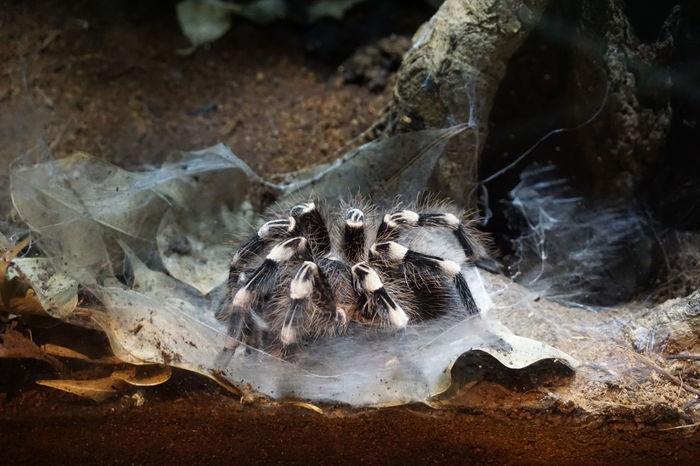 Animal Animal Themes Close Up Close-up Londonzoo One Animal Power In Nature Tarantula Pmg_lon