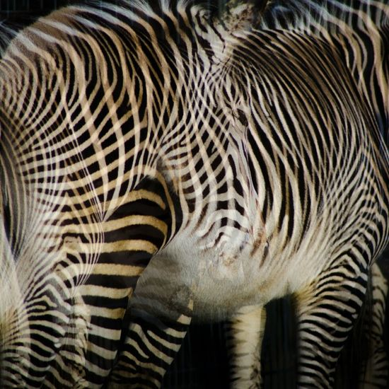 Zebra Camouflage Double & Double Lines Animal & Animal Getting Creative African Art Voodoo Transforming Exploring New Ground Color Design Space Design Pattern, Texture, Shape And Form Textures And Surfaces Abstract Muster Mix Lines, Colors & Textures Fine Art Zebra Around The World Muster Flyfish Colors And Patterns