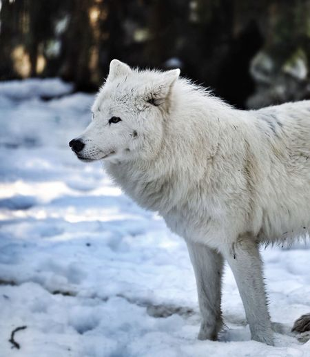 Wolf Nature Animals Nature_collection EyeEm Nature Lover