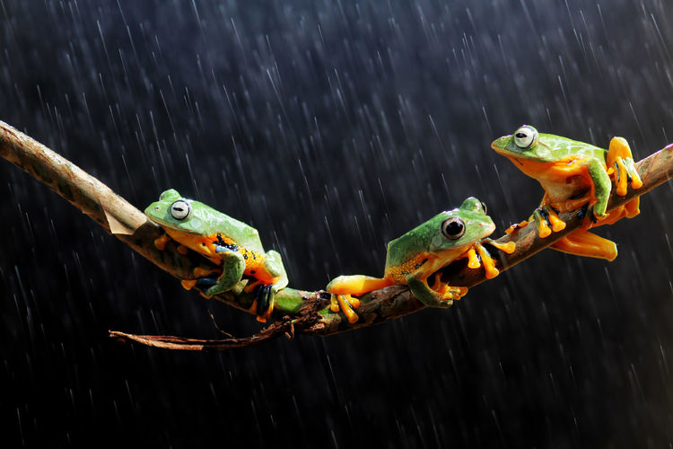 tree frogs on twigs Animal Wildlife Animals In The Wild Animal Animal Themes Water Vertebrate Group Of Animals Nature No People Day Wood - Material Outdoors Focus On Foreground Two Animals Close-up Amphibian Motion Fish