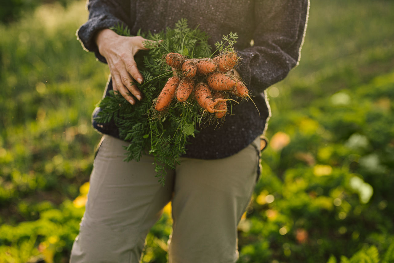 Midsection of man holding carrots in farm