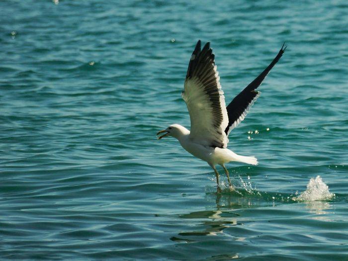 Gray heron flying over water