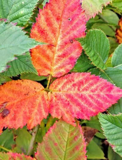 bright appearance Raspberry Leaves Autumn Close-up Plant Leaves Plant Life Natural Pattern Botany