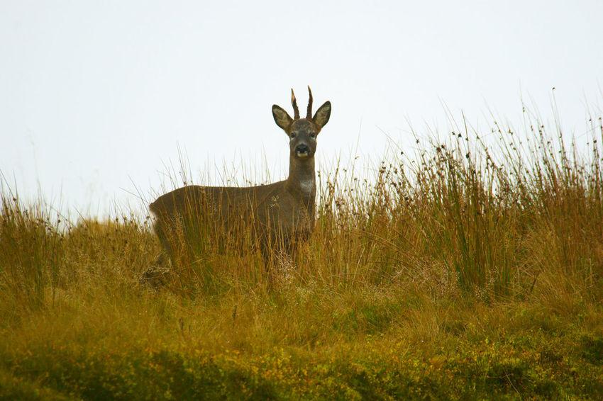 Roe Buck on moorland Animal Deer Field Grass Mammal Nature Outdoors Roe Deer Wildlife Wildlife & Nature Wildlife Photography