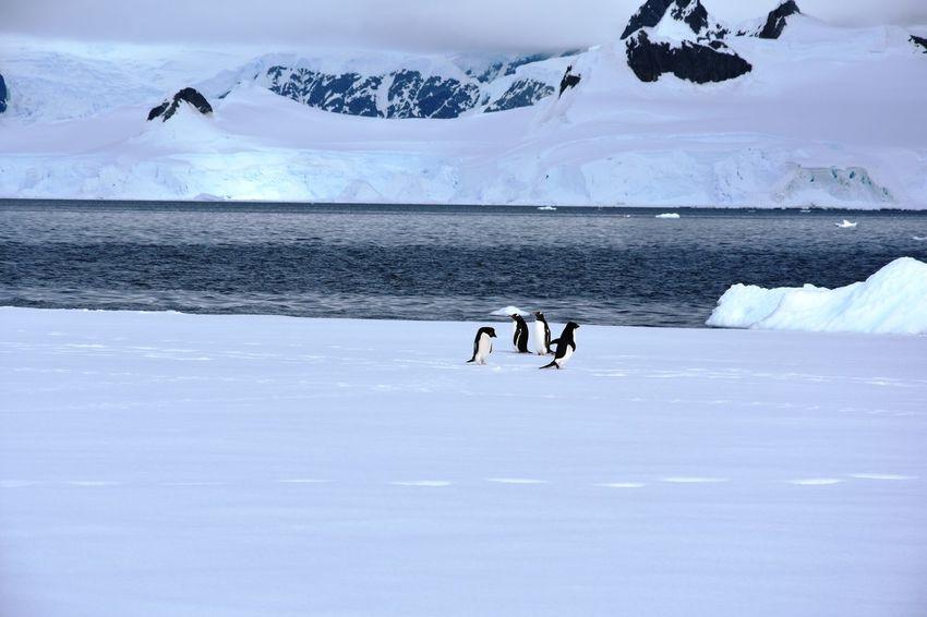 Antarctic Antarctic Peninsula Antarctica Bird Frozen Frozen Glacier Ice Iceberg Icebergs Landscape Mountain Mountains Penguin Snow Winter Wonderland