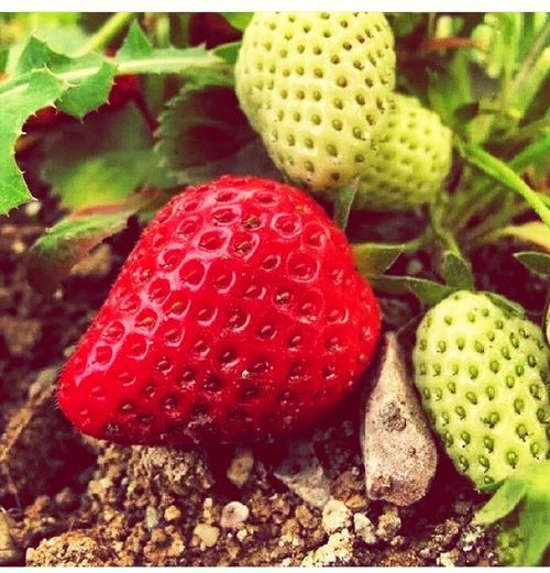 Delicious Nature Strawberry Landscape