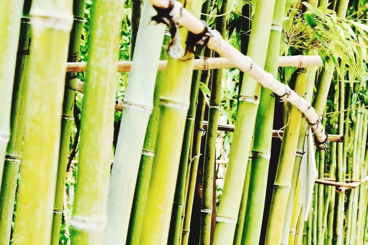 Bamboo Green Green Green!  Flowers,Plants & Garden