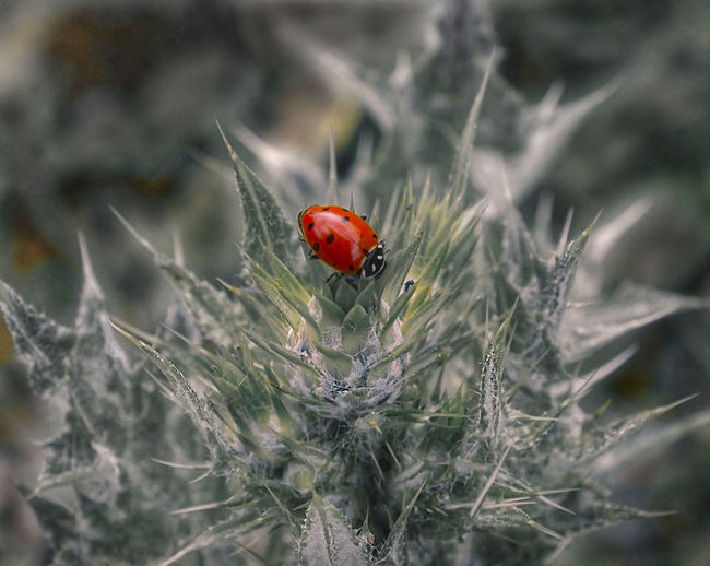 Beauty In Nature Close-up Insect Ladybug Nature No People Outdoors Plant Red