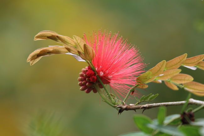 Tropical flower, in no hurry to blossom!🌹 Flower Nature Close-up Flower Head Beauty In Nature Plant Tropical Flowers Tropical Plants EyeEm Best Shots EyeEm Nature Lover Travel Pink Flower Pink Red Flower Lehua Flower RedFlower Hawiian Flowers in Hawaii United States