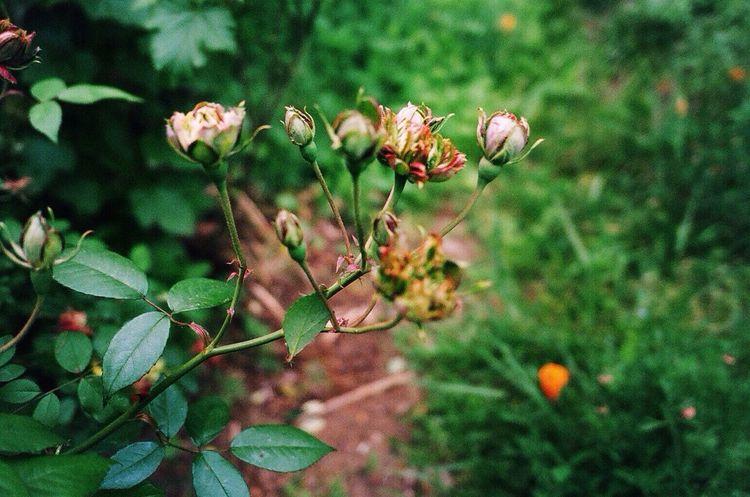 Green Rose In My Garden Expired Film 35mm Film