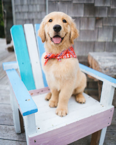 Puppy Golden Retriever Pets Canine Domestic Dog Domestic Animals One Animal Mammal Sitting Seat Vertebrate Portrait Looking At Camera Day No People Wood - Material Focus On Foreground Bench
