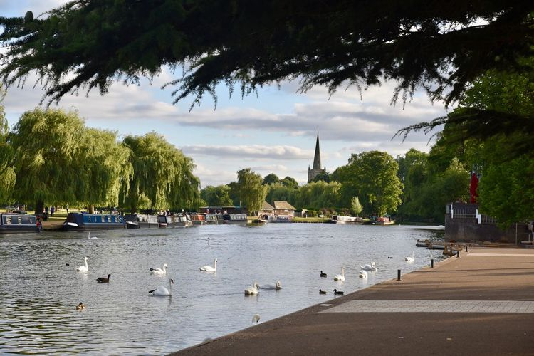 The River Avon and Swans at Stratford River Avon Beauty In Nature Nature Outdoors River Swan Tree Water