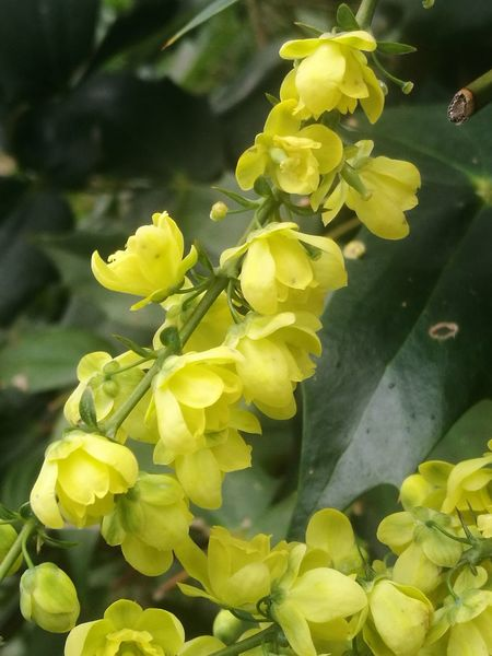 The beautiful scent of Mahonia to soothe the soul Nature_collection Mahonia Flowers Yellow Flowers Yellow Nature Green Color Plant Growth Leaf Close-up