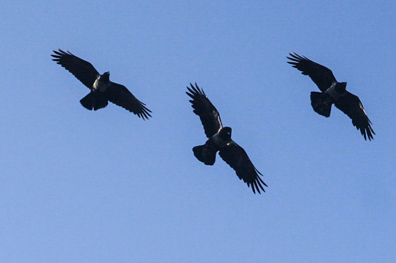 Crows against