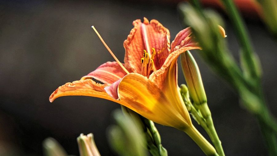 Lilienblüte 🍃 Frühling 2017 Flower Petal Nature Fragility Beauty In Nature Plant Growth Flower Head Close-up Freshness Red Springtime Day Lily No People Outdoors Day Beliebte Fotos Natural Beauty Taglilie EyeEm Best Shots EyeEmBestEdits Taking Photos Flowers,Plants & Garden Green Color Leaf Petal