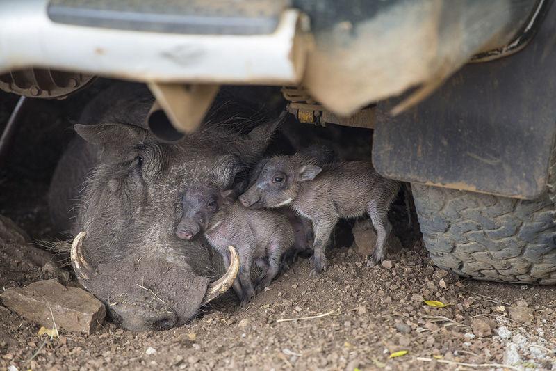 Warthogs lying under car on field