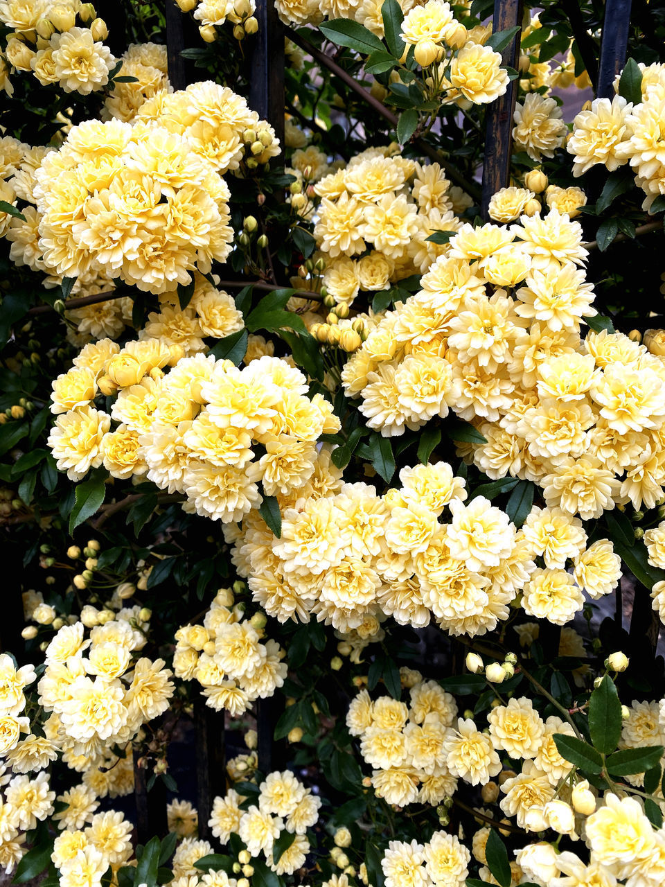 CLOSE-UP OF YELLOW FLOWERING PLANTS IN SHOP