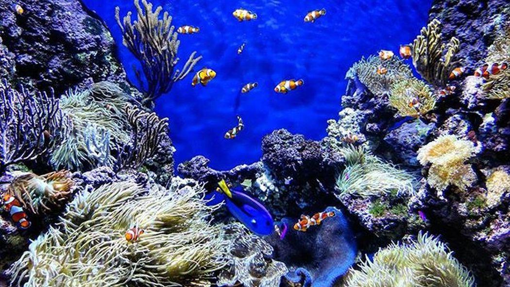 [2015.09.26] Dory: Hey! I don't remember why but are you Nemo? Seaaquarium Sentosa Singapore Sg Marine Clownfish Nemo Bluetang Dory Anemone