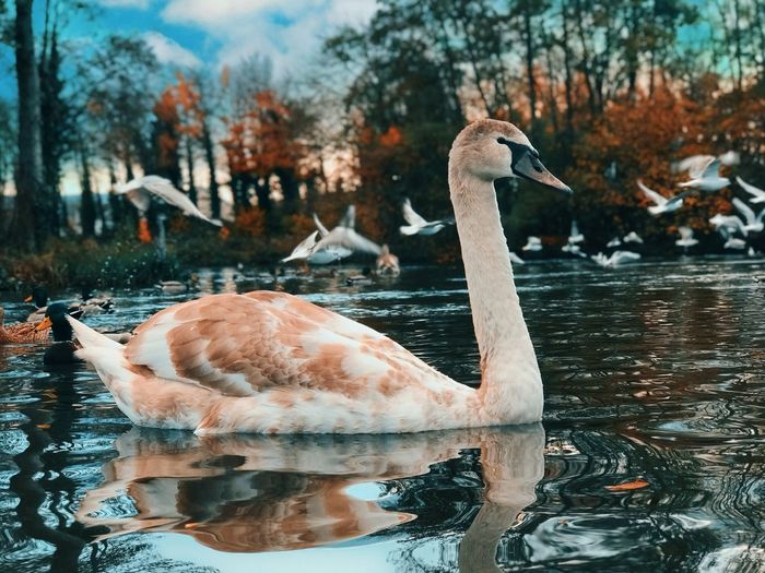 Animal Themes Animals In The Wild Animal Wildlife Animal Water Vertebrate Bird Lake Group Of Animals Waterfront Nature Reflection Day No People Swimming Swan Water Bird Flock Of Birds Beauty In Nature Animal Neck