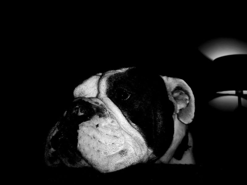 The look of devotion Dogs Bulldog Old Thyme Dorset Bulldog Bear White And Black Dog Black And White Photography Black Background Close-up