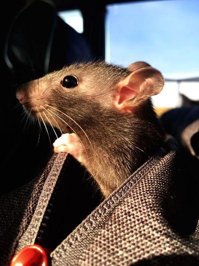 Милый крысенок крыса One Animal Animal Animal Themes Close-up Vertebrate Mammal Pets