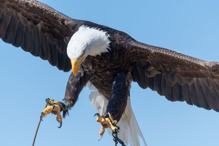 Close up of a bald eagle flying in a falconry demonstration.