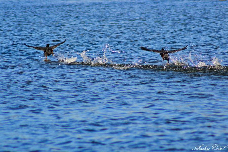 Nature Bird Water Animal Wildlife Outdoors Cctv Chile Nikon Talcahuano, Chile. Cctvlens Nikon 1 J5 Nikon1j5 Talcahuano Nikonphotography Nikon Photography No People Patos