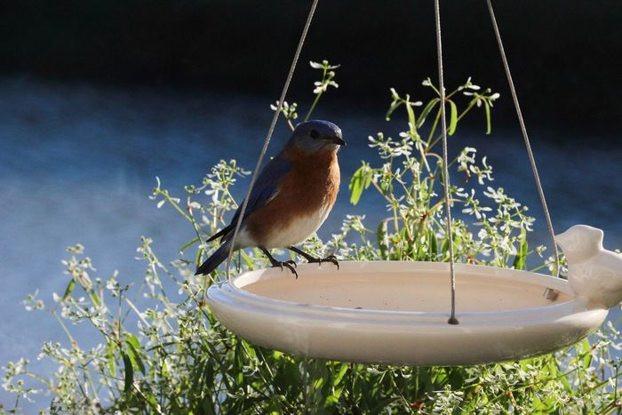 Bluebird, for Deanna, Check This Out Hanging Out Hello World Relaxing Taking Photos Enjoying Life Bird Photography Cheese! One Of My Favorite Things Check This Out Everyday Joy EyeEm Birds Bluffton Sc, Beautiful Nature Birds Backyard Photo
