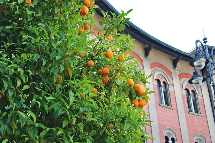 Fruit Architecture Building Exterior Built Structure Low Angle View Outdoors Orange Tree Citrus Fruit Green Color Growth Tree Day No People The Week On Eyem Live For The Story Italy