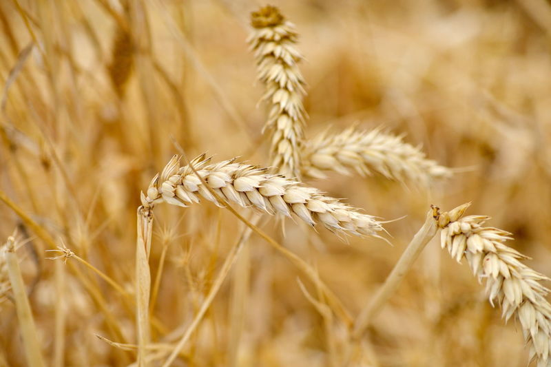 Agriculture Barley Cereal Plant Close-up Crop  Field Food Food And Drink Gold Colored Growth Land Landscape Nature No People Oat - Crop Organic Outdoors Plant Plant Stem Ripe Rural Scene Rye - Grain Seed Summer Wheat