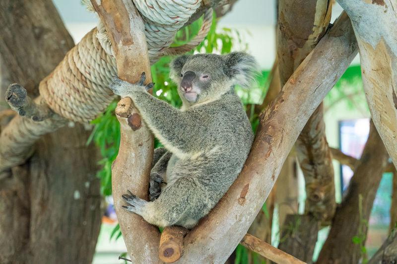 koala climb the