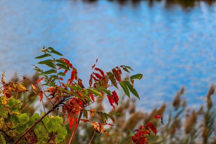 Close-up of red flowering plant against water