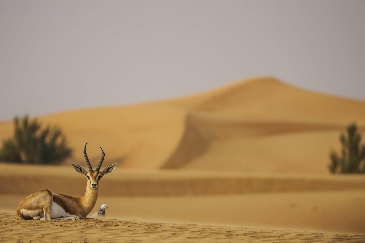 Impala sitting at desert against sky