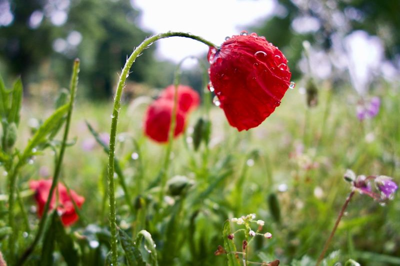 RainDrop Poppy Flower Poppy Plant Growth Red Freshness Close-up Flower Beauty In Nature Day No People Vulnerability  Food And Drink Focus On Foreground Fruit Flowering Plant Nature Fragility Outdoors