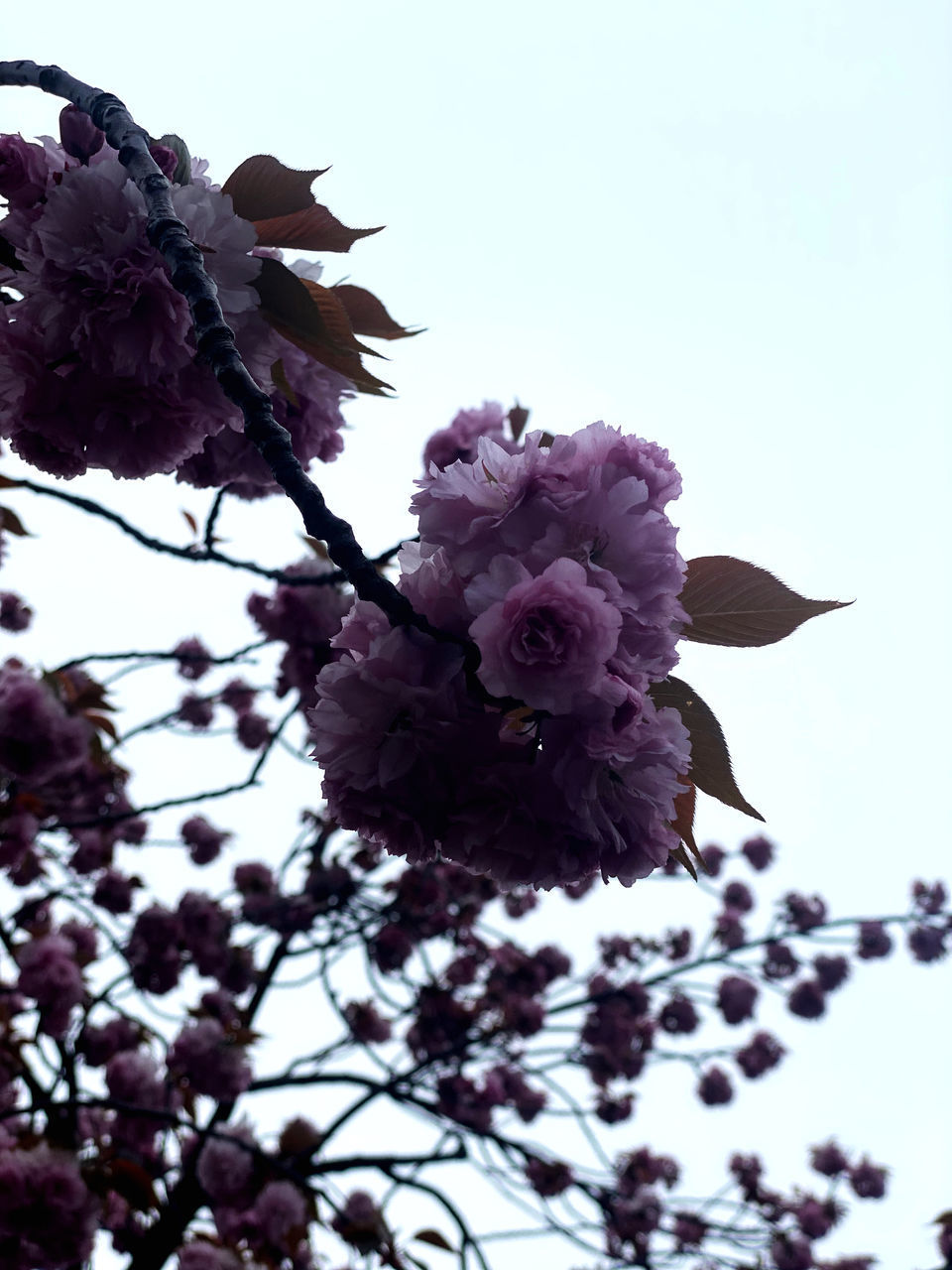 LOW ANGLE VIEW OF FRESH PURPLE FLOWER WITH TREE AGAINST SKY